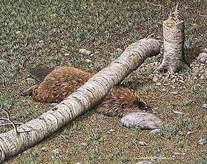 Beaver killed by fallen tree